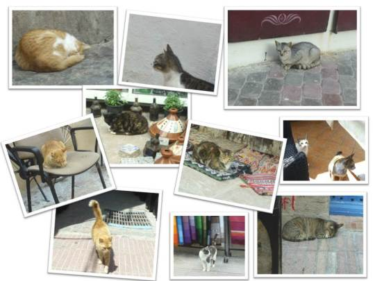 Cats of Essaouira